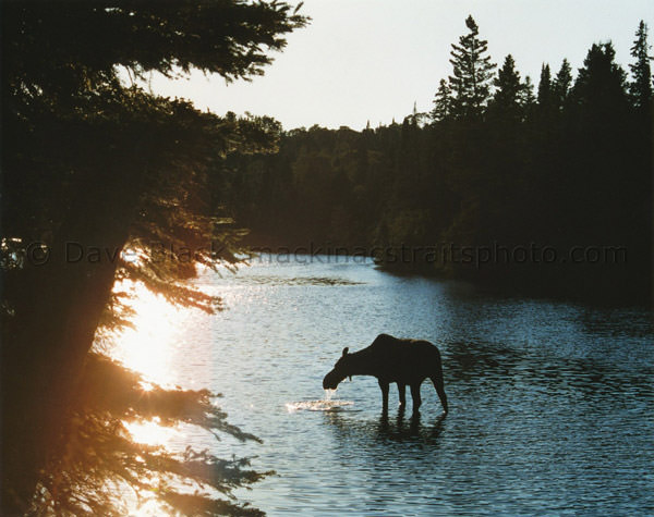 Silhouetted Moose